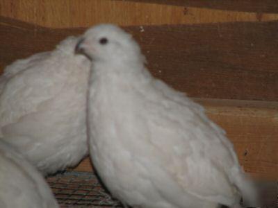 12+extras - white bobwhite quail hatching eggs